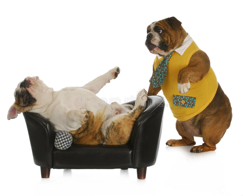 Dog psychology. Bulldog standing looking at another laying on a couch with reflection on white background