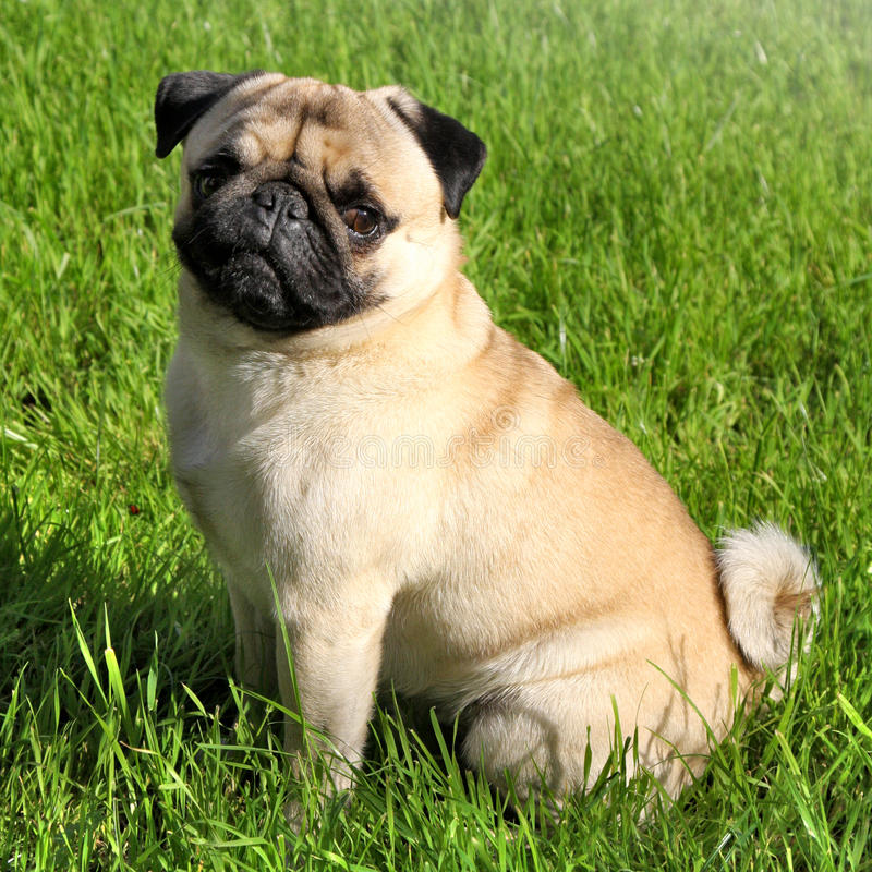 Dog Pug. Small dog Pug on green grass in a park stock photo