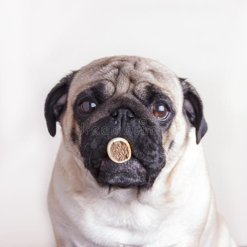 Dog pug close-up with sad brown eyes keeps treat at her mouth. Portrait on white background stock images