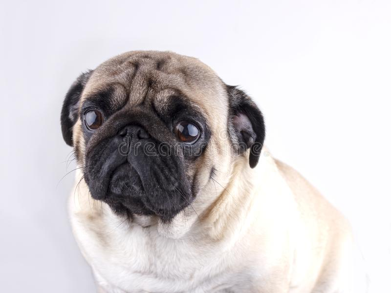 Dog pug close-up with sad brown eyes. Portrait on white background. Dog pug close-up with sad brown eyes. Portrait on a white background royalty free stock photography
