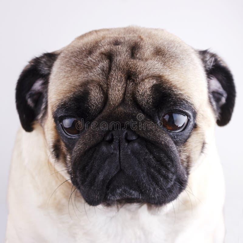 Dog pug close-up with sad brown eyes. Portrait on white background. Dog pug close-up with sad brown eyes. Portrait on a white background stock images