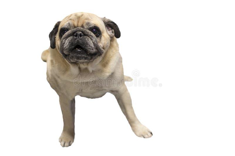 Dog pug isolated on white background. The dog looks with interest in anticipation of something stock photo