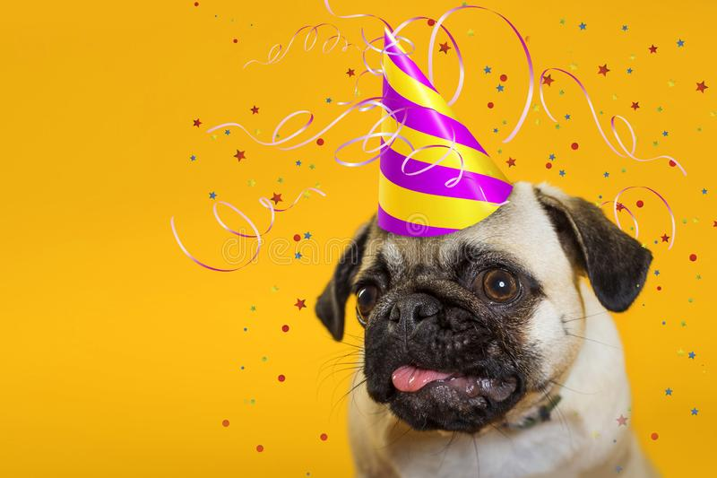 Congratulation. dog pug in a cap on a yellow background. royalty free stock images