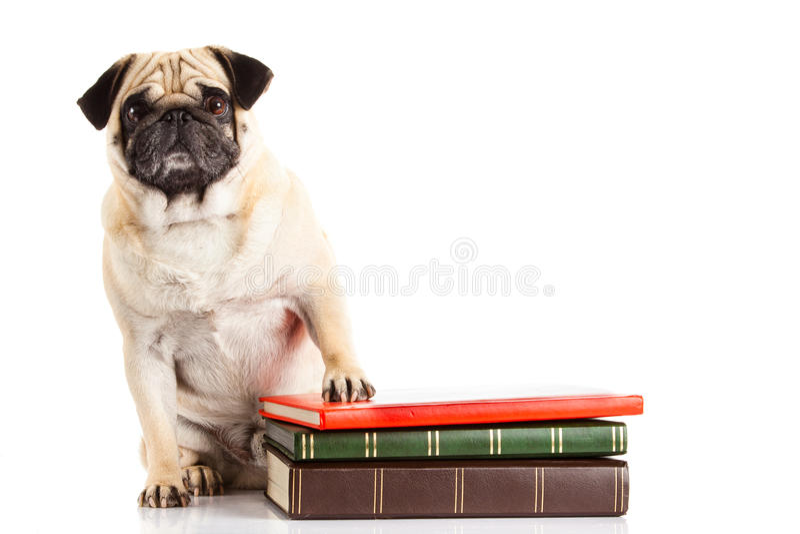 Dog pugdog und books isolated on white background stock photography