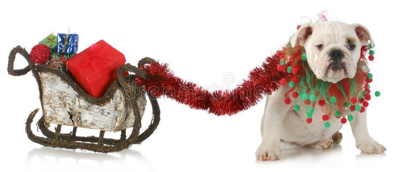 Dog pulling christmas sleigh stock photo