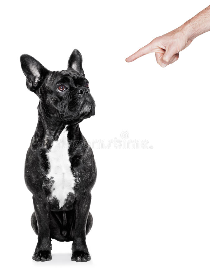 Dog punished. Dog being punished by his owner with finger pointing out him, isolated on white background royalty free stock image