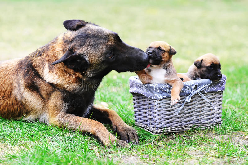 Dog with puppies royalty free stock photos