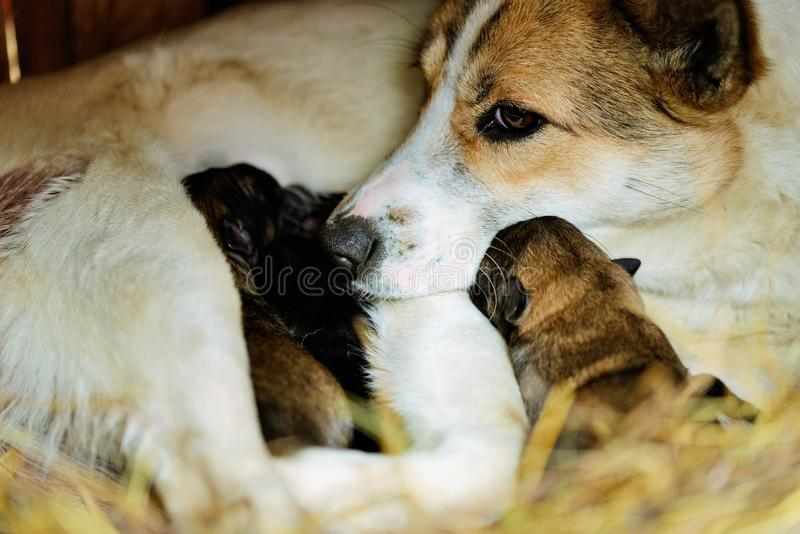 Dog with puppies. One day old royalty free stock photography