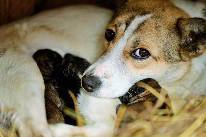 Dog with puppies. One day old royalty free stock images