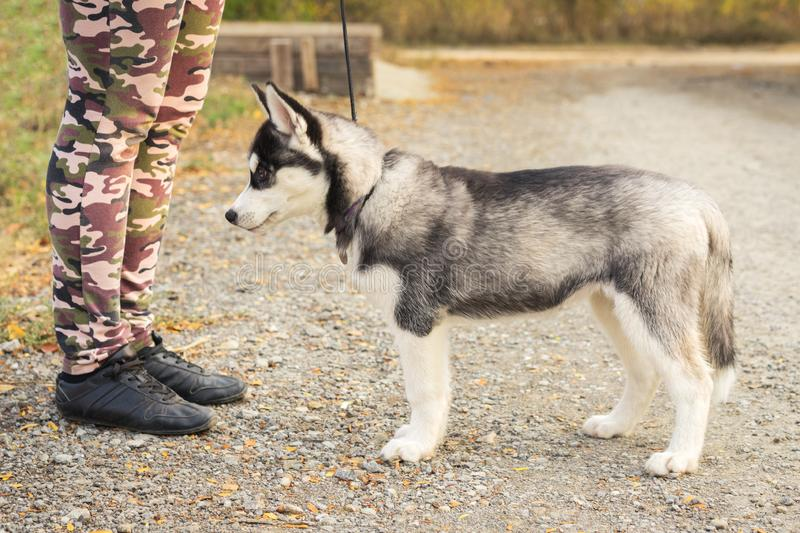 Dog puppies of the Siberian husky is worth fulfilling the command of his coach. dog training royalty free stock photos