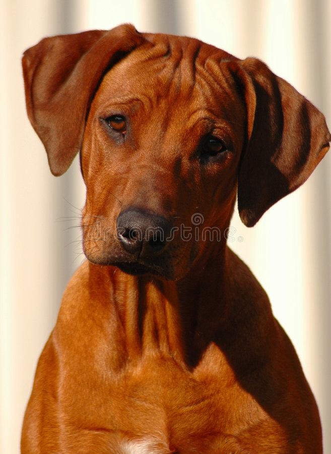 Dog puppy. A cute inactive beautiful little Rhodesian Ridgeback hound dog puppy head portrait watching other dogs