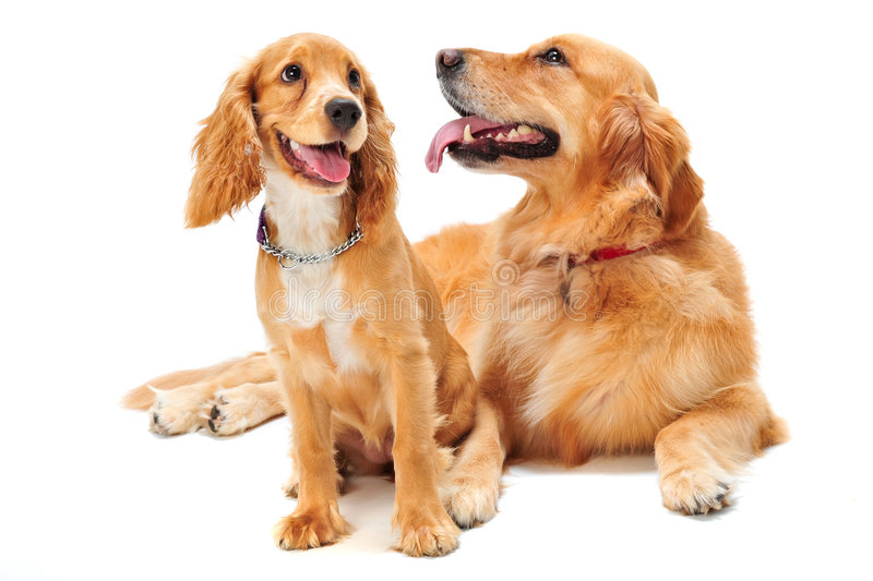 Dog and Puppy royalty free stock photography