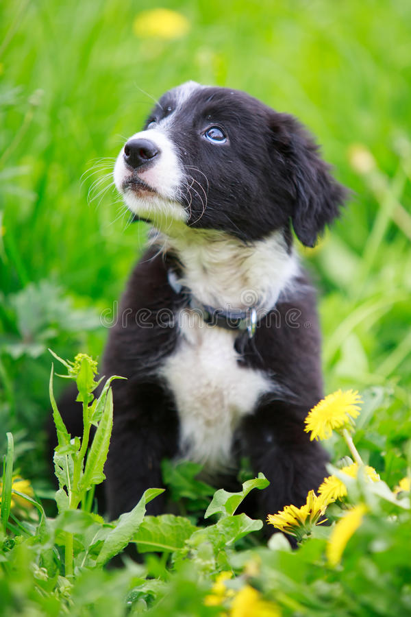 Download Dog puppy stock image. Image of grass, animal, border - 32052859