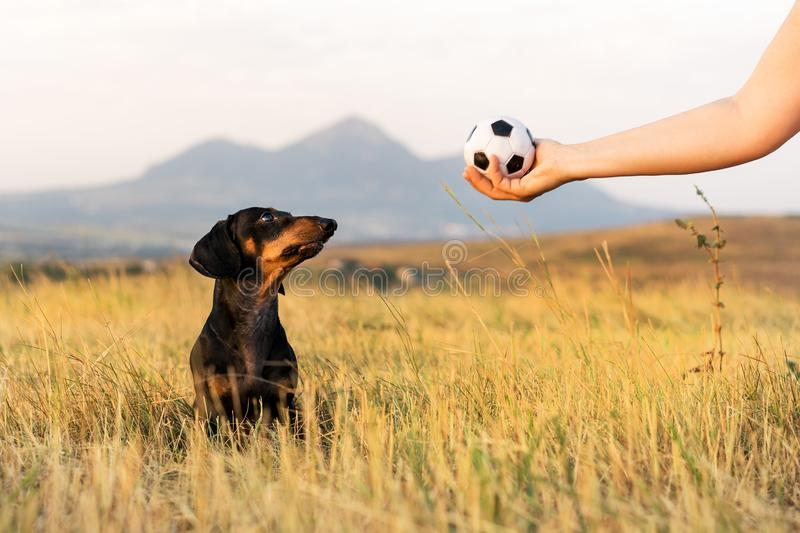 Dog puppy, breed dachshund black tan, looks at the host`s hand with the ball in anticipation of the game. Dog playing in the gam. E with a man royalty free stock image