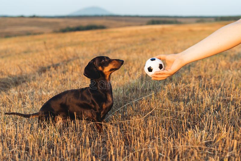 Dog puppy, breed dachshund black tan, looks at the host`s hand with the ball in anticipation of the game. Dog playing in the gam. E with a man stock photo
