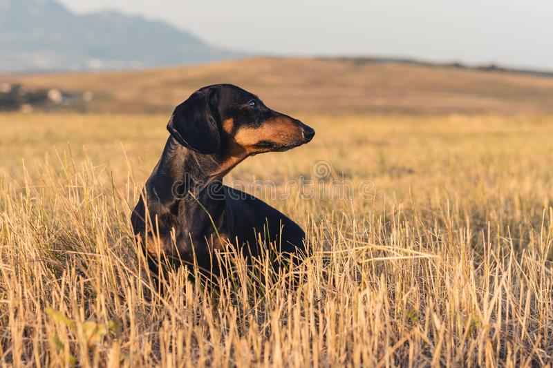 Dog puppy, breed dachshund black tan, playing and walking on a autumn grass in the park royalty free stock photos