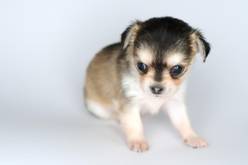 Dog puppy chihuahua against white background portrait royalty free stock image