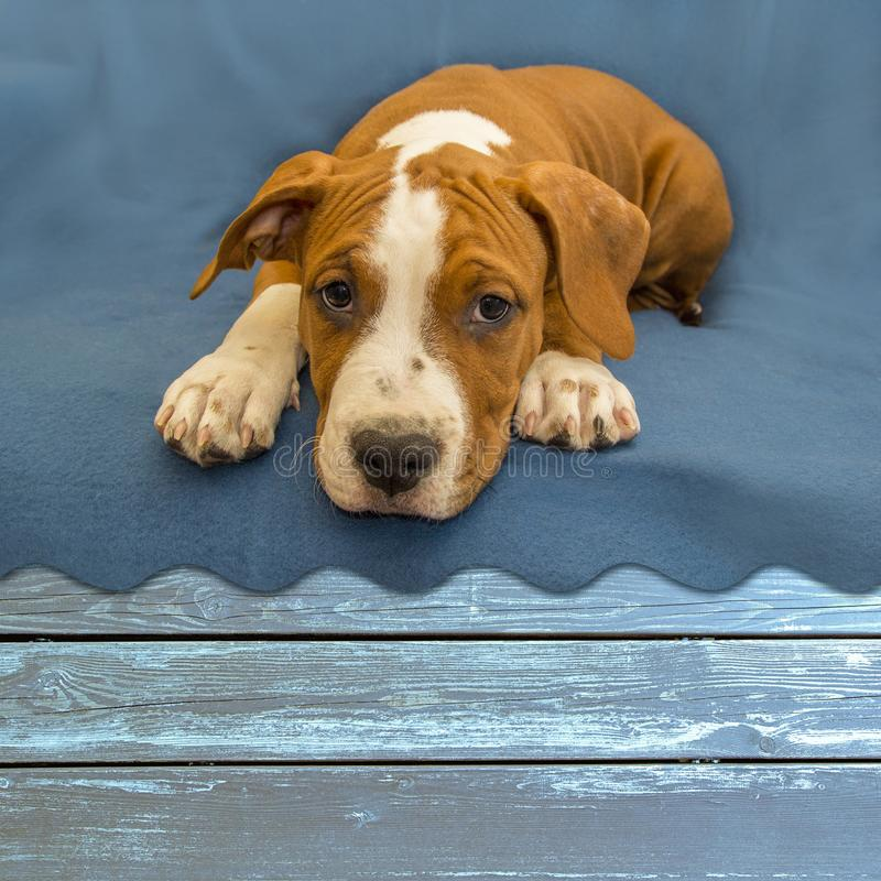 Dog / puppy close-up, looks faithful look, lies on a wooden blue table. Pretty puppy Staffordshire terrier. royalty free stock photography