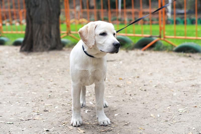 Dog puppy golden labrador retriever on the collar in the park in summer stock photography
