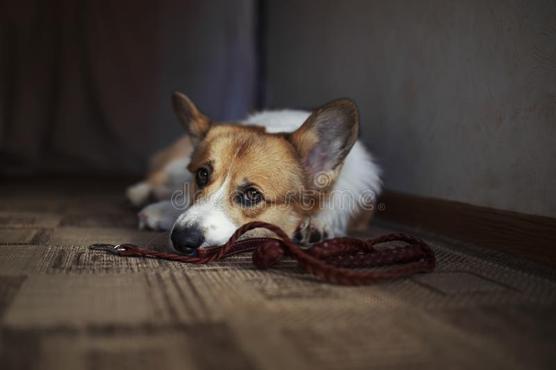 Corgi dog puppy lies on the floor in a house near with leash and profoundly sad looks at owner in anticipation walk. Dog puppy lies on the floor in a house near royalty free stock photography