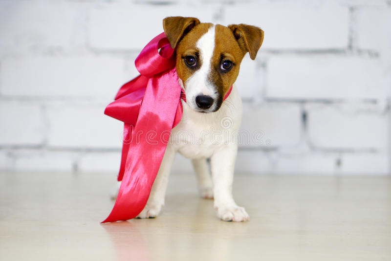 Dog puppy and pink bow in front of a white brick wall royalty free stock photo