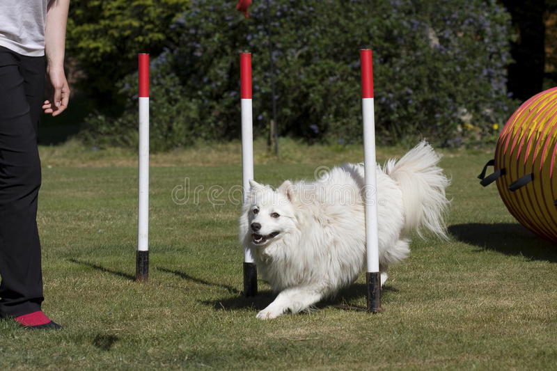 Download Dog puppy in weave poles stock photo. Image of mammals - 19822608