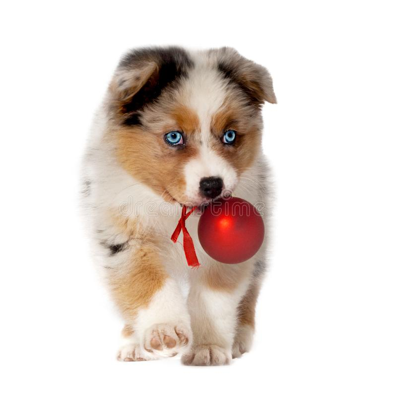 Dog, puppy 8 weeks, Australian Shepherd with Christmas ball in m royalty free stock images