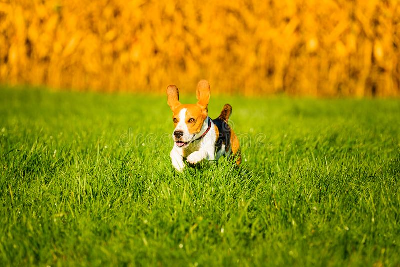 Dog, pure breed beagle jumping and running like crazy through morning dew in autumnal sunlight. Canine fast action shoot, run. Towards camera. Beautiful back stock image