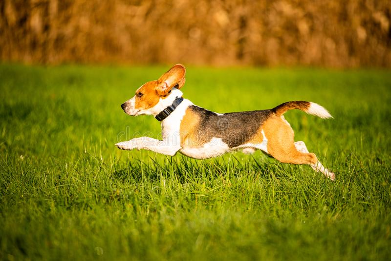 Dog, pure breed beagle jumping and running like crazy through morning dew in autumnal sunlight. Canine fast action shoot, run. Towards camera. Beautiful back stock photography