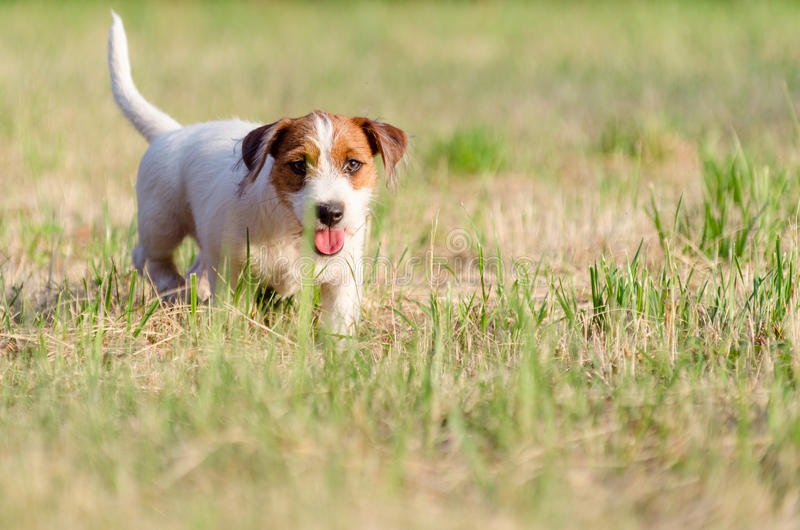 The dog purebred puppy jack russel terrier walks around a summer meadow. royalty free stock photo