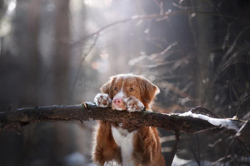The dog put his paws on the stick. Nice little face. stock photography