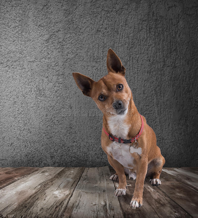 Dog with quizzical expression. On wooden floor stock photos