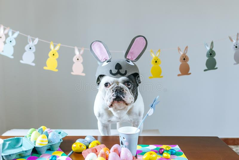 Dog with rabbit hat on table with Easter eggs. Dog with rabbit hat on table full of Easter eggs royalty free stock photo