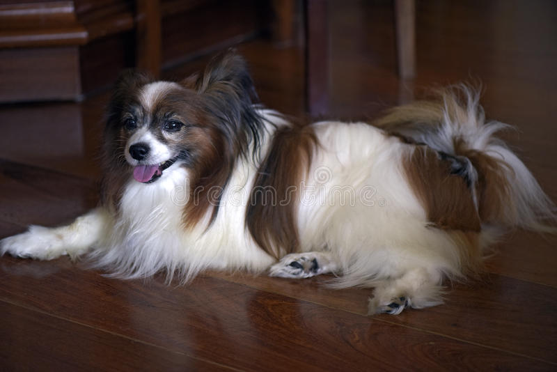 Dog of the race papillon lying on the floor of the room. Papillon or continental toy spaniel is a very intelligent and self-assured dog developed in France of royalty free stock photos