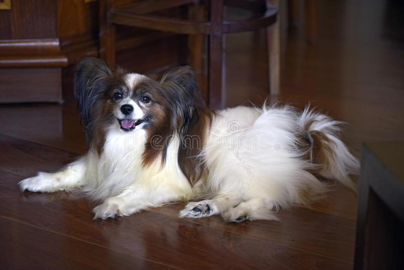 Dog of the race papillon lying on the floor of the room. Papillon or continental toy spaniel is a very intelligent and self-assured dog developed in France of stock photos