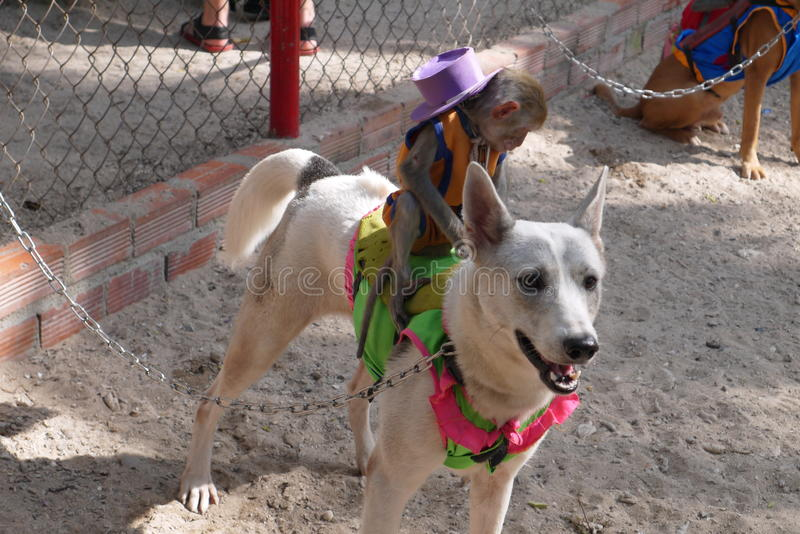 Dog races. Running dogs with equestrians monkeys prepare for a competition royalty free stock images