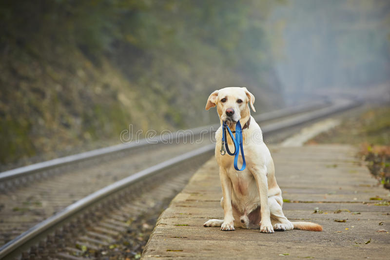 Dog on the railway platform. Dog is waiting for the owner on the railway platform royalty free stock image