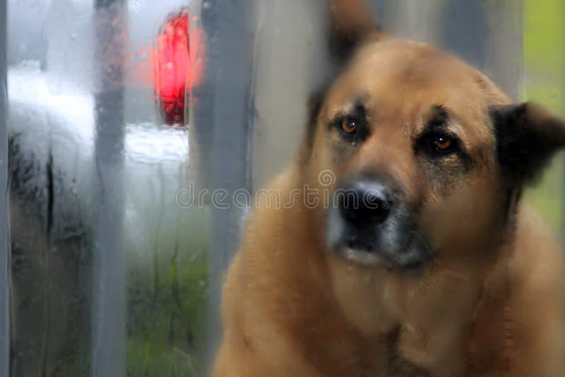 Dog rain window stock photo