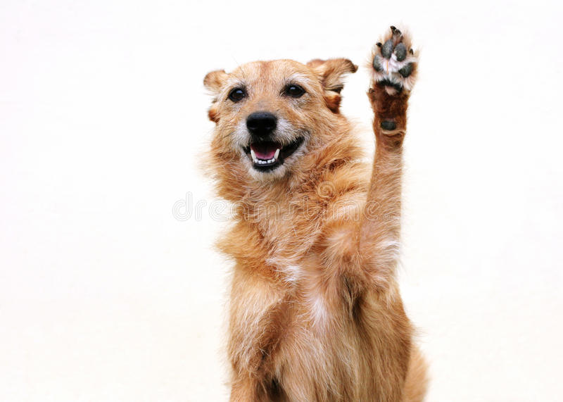 Dog with raised paw. Cute scruffy terrier dog with her paw raised in a high five