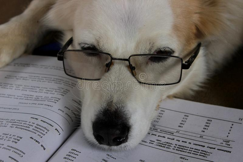 Dog is reading a book royalty free stock image