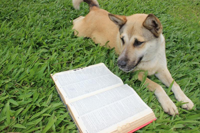 Dog reading a dictionary. A intelligent dog stretches out on the lawn and reads the dictionary stock photo