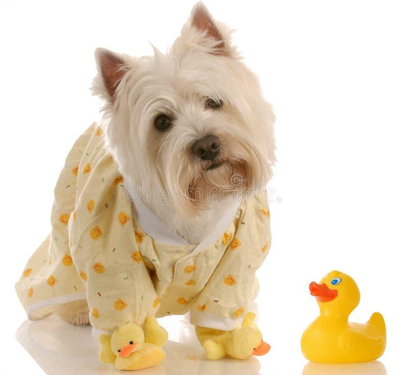Dog ready for a bath stock photos