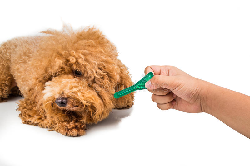 Dog ready for medicine to control flea, lice and mites. Dog ready to be administered with medicine to control flea, lice and mites royalty free stock images
