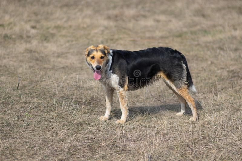 Dog is ready to chase anybody while hunting. Mixed-breed female dog is ready to chase anybody while hunting royalty free stock photos
