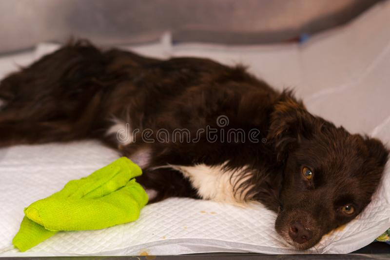 Dog receiving iv treatment at the veterinary clinic stock photography