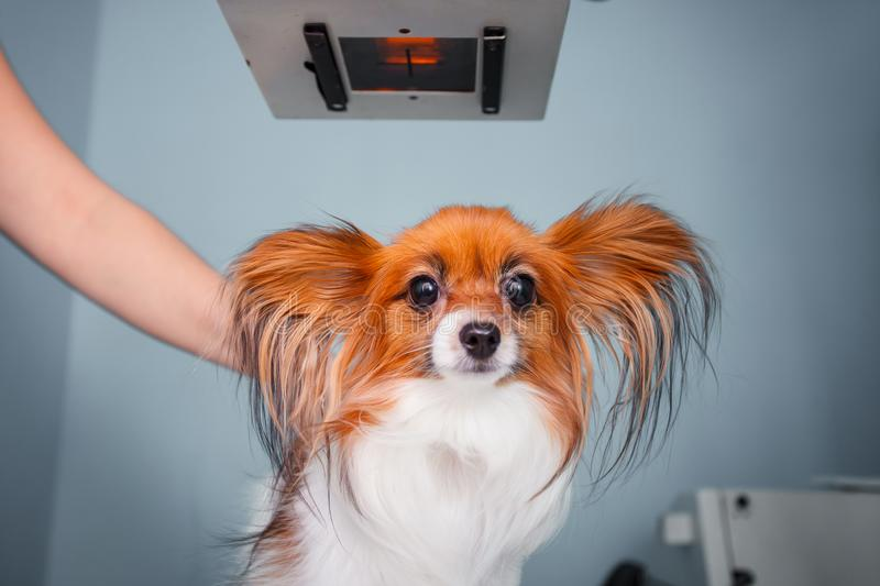 Dog receiving an x-ray at a veterinary clinic stock image