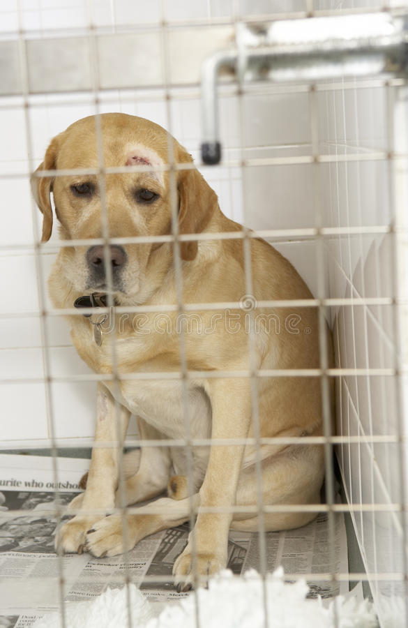 Dog Recovering In Vet's Kennels. Looking all sad royalty free stock photos