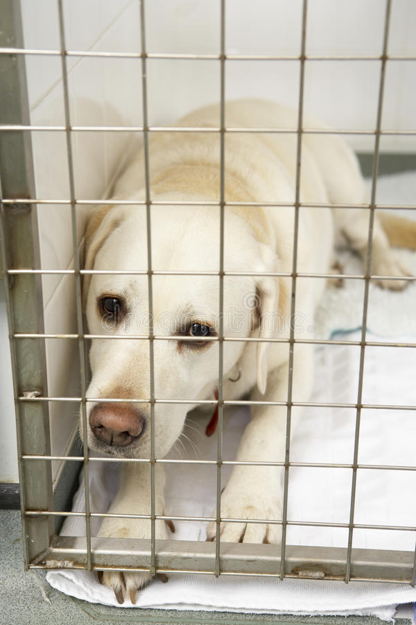 Dog Recovering In Vet's Kennels. Looking at camera royalty free stock images