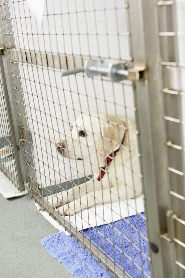 Dog Recovering In Vet's Kennels. In a pen stock image