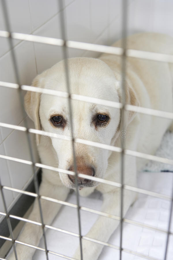 Dog Recovering In Vet's Kennels. Looking at camera royalty free stock image